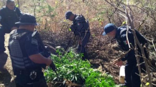 Destruyen plantío de marihuana en el Cerro de la Beatilla