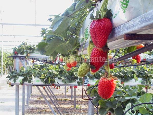 Agricultores acuerdan apostar por hidroponía para fortalecer producción de fresa