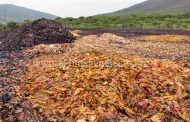 Tiran a cielo abierto 35 toneladas diarias de desechos de mango