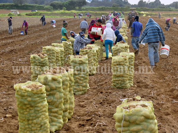 Logran sembrar mil 500 hectáreas de papa en zona de la Meseta Purépecha