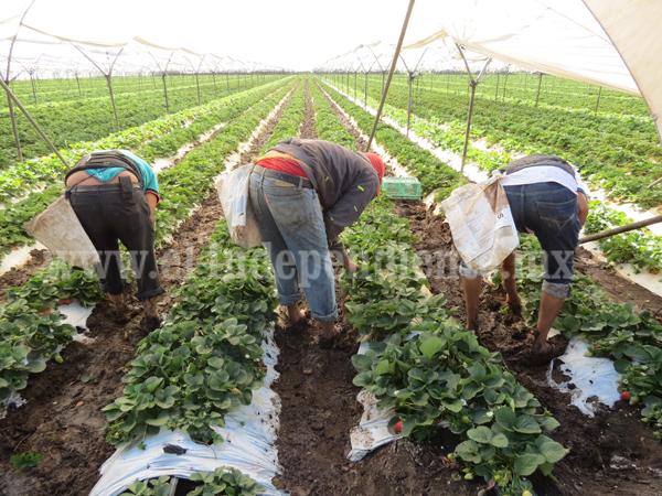 Saturación del mercado de fresa obligará a productores ofrecer nuevas variedades
