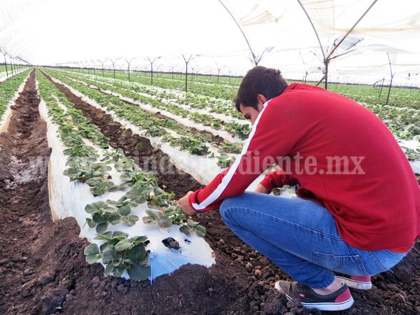 Producción de aguacate representa serio riesgo para exterminio de cultivos locales