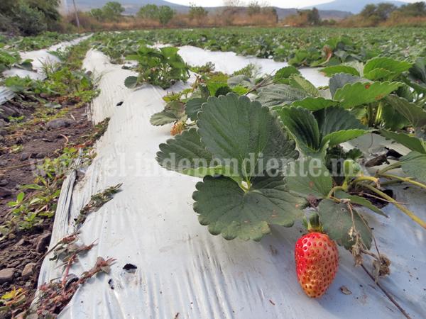 Disminución de fresa debe alentar diversidad de cultivos en campo zamorano