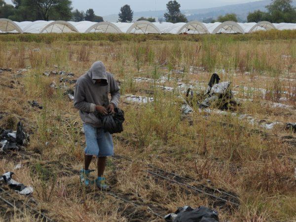 Pocas hectáreas de maíz en la región son aseguradas por los productores