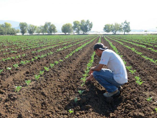 Pese a resultados negativos, Zamora mantiene primer lugar en producción de fresa