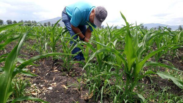 Preocupa a productores de maíz escasez de lluvia para desarrollo de grano