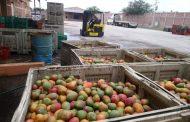 Se encarece propuesta para tratar desechos de mango; alcanza los 34 mdp
