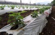 Urge centro de investigación agrícola para región Zamora