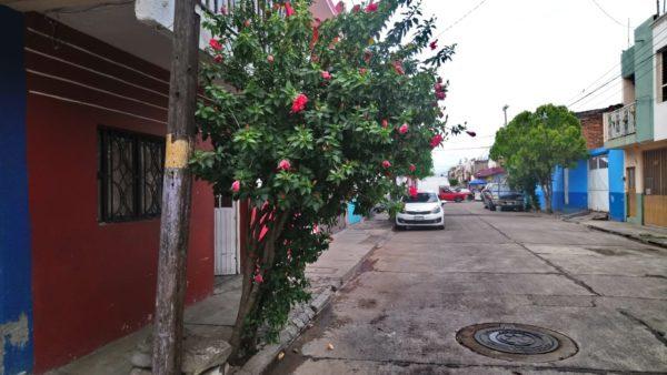 Olivo negro, tabachin y fresno, árboles que generan daños a infraestructura urbana de Zamora