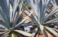 También en peligro de plagas agave michoacano, ante falta de ley que regule entrada de planta