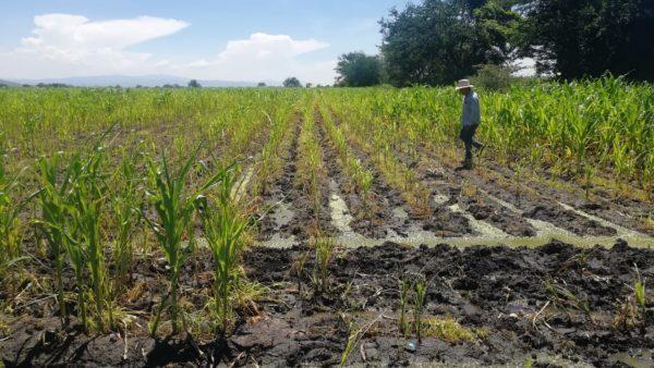 Existe insuficiencia alimentaria de maíz en Michoacán