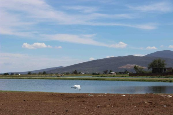 Arriban pelicanos borregones a lagunas de  Zamora.