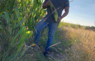 Obtienen productores mazorcas de más de un kilo, con agricultura Sustentable en Michoacán