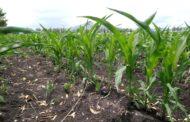 Desaparece cultivo de sorgo en tierras agrícolas de Zamora
