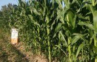 Falta de lluvia puede atrasar inicio de temporal de maíz
