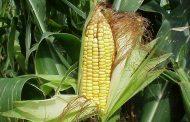 Más de 2 mil hectáreas de maíz beneficiadas con programa Agricultura Sustentable