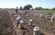 Apertura de TMEC puede ser el fin del cultivo de papa en la región