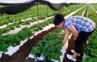 Aparecen 3 nuevas plagas importadas en cultivo de fresa