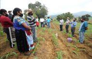 Agricultura Sustentable duplicará cosecha de maíz en Chilchota