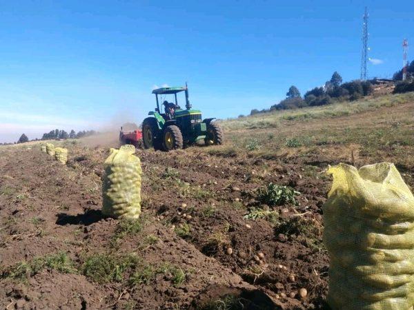 Exceso de lluvia puede perjudicar calidad del cultivo de papa