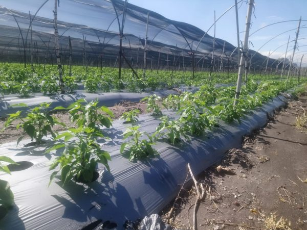 Siguen indecisos productores de fresa para invertir en próximo temporal