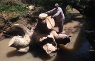 Continúa el mantenimiento del Río Santuario en Tangancícuaro