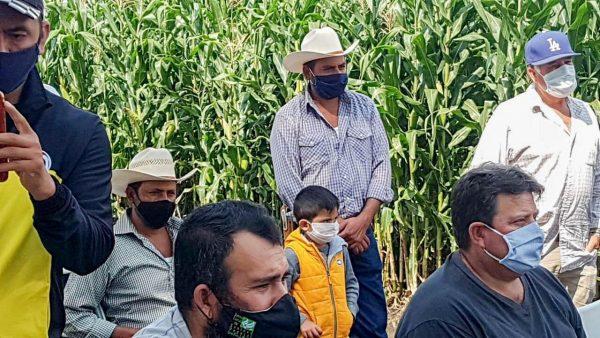 Presentan variedad de maíz apta para agricultores de Tangancícuaro