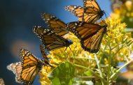 Apertura de los Santuarios de la Mariposa Monarca, con medidas estrictas para evitar el COVID-19