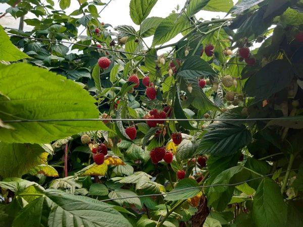 Agricultores rezagados en materia de capacitación: Sistema Nacional Producto fresa