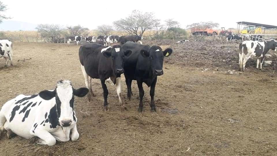 Algunos ganaderos apuestan producir leche y carne con la misma res