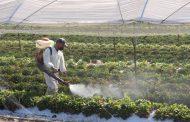 No hacen caso autoridades, sigue importación de plagas y enfermedades en planta de fresa