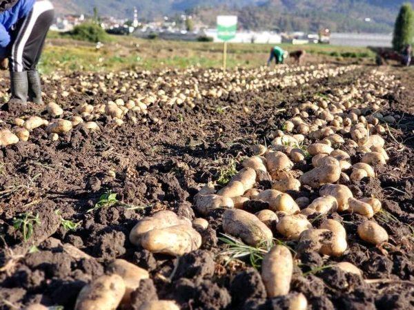 Inicia temporal de papa con esperanza de mantener mil hectáreas