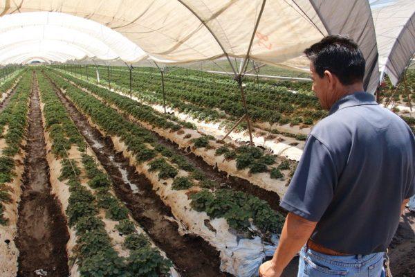 Cultivo de fresa mantiene viva economía de Zamora; agricultores cierran buen temporal