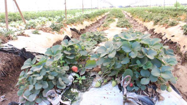 Instruirán a productores para identificar plantas de fresa libres de plagas