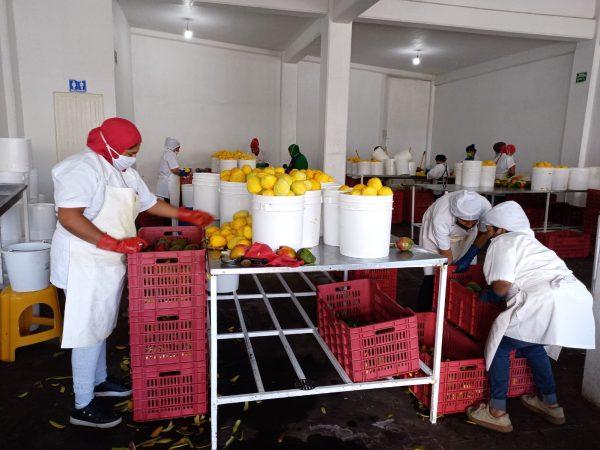 Agroindustrias aumentan cantidad de mango a procesar, pero no cuentan con mano de obra suficiente