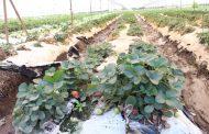 Zamora pierde liderazgo en producción de fresa por falta de apoyo gubernamental