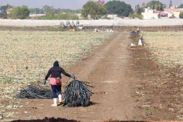 Migración de jornaleros, propicia para aumentar mano de obra femenina en agro