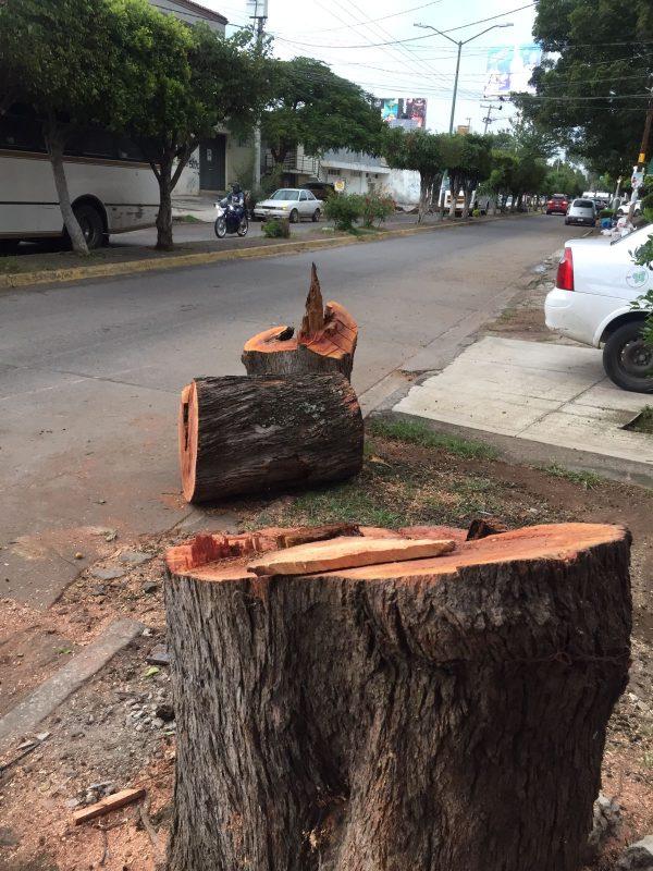 En calle Constitución de Jacona derriban árbol ante el riesgo que representa para la población.