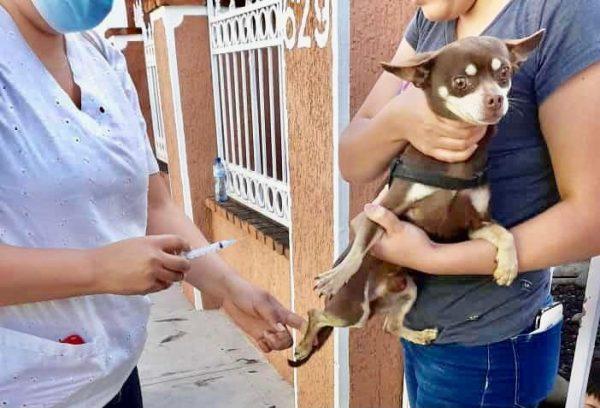 Buena respuesta de jaconenses a campaña de vacunación para caninos y felinos
