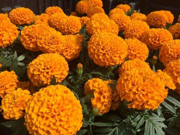 Michoacán, tercer lugar nacional en producción de flor de cempasúchil